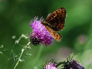 Farfalle della Val Binon 01